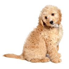 Do Cockapoo Dogs Shed A Lot by Cockapoo Dog Breed Breed Info Pictures U0026 More