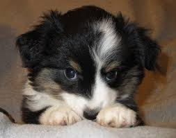 south florida australian shepherd cowboy capital kennels miniature australian shepherd breeder