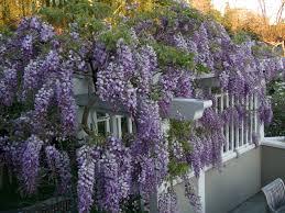 wisteria vine trellis google search wisteria pinterest