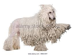 afghan hound poodle cross poodle cut out stock photos u0026 poodle cut out stock images alamy