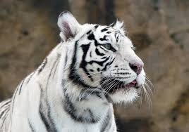 white tiger cubs maul keeper to in india