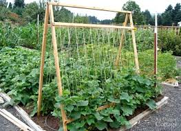 How To Grow Green Beans On A Trellis Five Reasons To Grow Cucumbers On A Trellis And Taking Up Less
