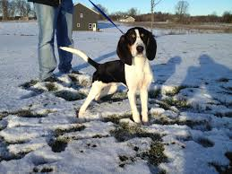 8 month old afghan hound chester the treeing walker coonhound 5 months old coonhounds