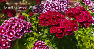 dianthus flower dianthus how to care for the sweet william flower