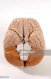 A Picture Of The Human Anatomy Medulla Oblongata Stock Photos And Pictures Getty Images