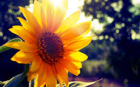 Flower Pictures Flowers Summer Sunshine Wallpapers