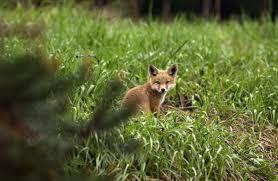 Michigan wild animals images Som dnr keep michigan 39 s wildlife wild jpg