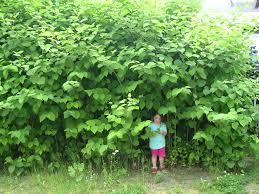 Pflanzen Fur Japanischen Garten Japanischer Staudenknöterich U2013 Wikipedia