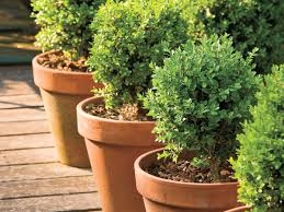 boxwoods perfect for pots southern living