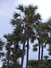 significance of a palm tree ecobuddy genuine organic products