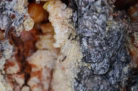 ants and pine tree resin about ants