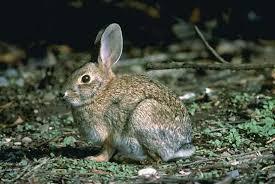 cottontail rabbit information pictures cottontails