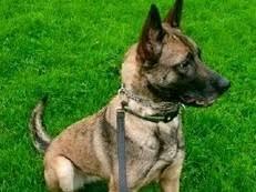 belgian shepherd uk belgian shepherds puppies for sale in uk dogs and puppies