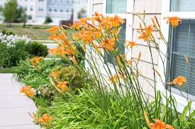 day lilies when to transplant day lilies hunker