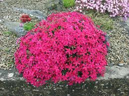 alpine plants for a rockery phlox douglasii u0027red admiral
