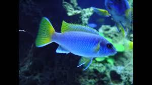 types of aquarium types of cichlids youtube