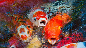 fish out of water apk koi swiped from virginia park pond abc news