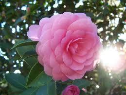 www flowers camellia flower garden camellia