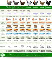 chicken breeds chart with new to backyard chickens chicken coop