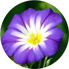 types of purple purple and yellow flowers purple flowers types of purple flowers