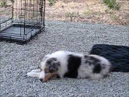 australian shepherd merle puppies lacie adorable blue merle all star mini aussie puppy training