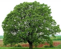tree in and प ड क न म