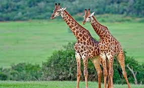 pictures of giraffes for kids on animal picture society