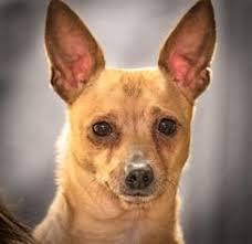 italian greyhuahua dogs for adoption in usa