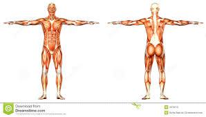Human Body Anatomy Pics Male Human Body Anatomy Front And Back Royalty Free Stock Image