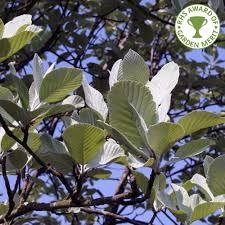sorbus lutescens tree plants trees
