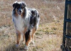 australian shepherd rescue new spirit 4 aussie rescue rescue pinterest australian shepherd