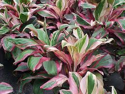 ti plant ti plant cordyline terminalis article