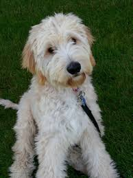 labradoodle hairstyles labradoodle haircut styles find hairstyle