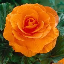 begonia flower orange begonia american