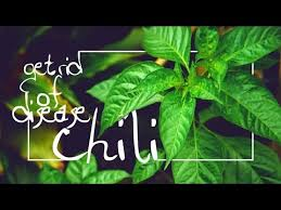 Green Chilli Plant Diseases - get rit of chili plant disease with topping youtube