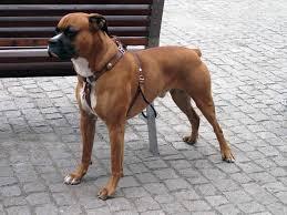 boxer dog health questions boxer dog all big dog breeds