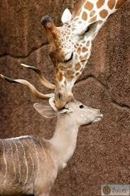 asian giraffe ring holder images 197 best giraffe love images giraffes africans and jpg