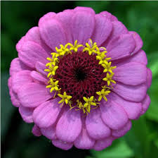 Zinnia Flower 100 Flower Zinnia Zinnia Flower Stock Images Royalty Free