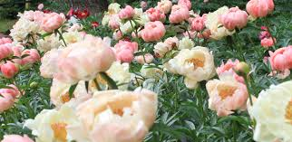 peonies flowers peony care tree herbaceous intersectional