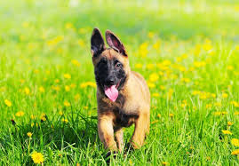 belgian shepherd ohio belgian malinois puppies for sale akc puppyfinder
