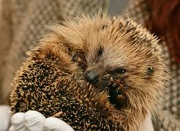 pet hedgehog diet nutrition and care what do they eat in the