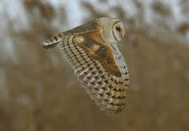 Barn Owl Sounds The Owl U0027s Perch The Un Common Barn Owl