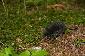 Moles Blind American Shrew Mole Neurotrichus Gibbsii Inaturalist Org