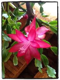 ring a ring of schlumbergera buttercly magic cactus rocío