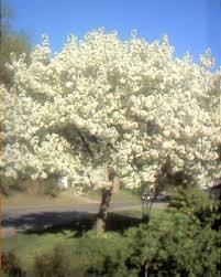 prettiest tree on hickory st point photo album topix