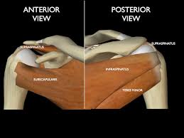 Subscapularis And Supraspinatus Artrohombro