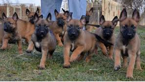 belgian shepherd hunting styrian coarse haired hound puppies funny puppy u0026 dog pictures