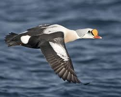 image gallery king eider