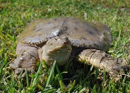 help there are turtles in my pond mississippi state university