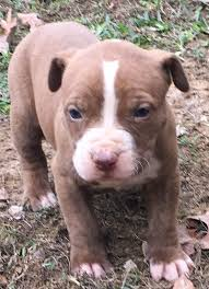 american pitbull terrier jeep bloodline da legacy pits